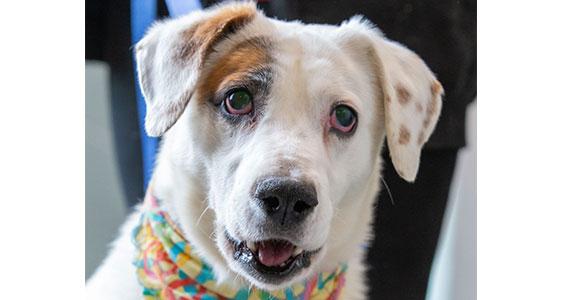 happyhowies_adoptabledog_wishbone
