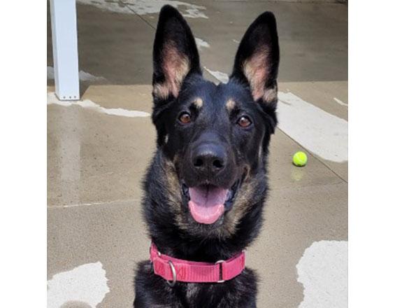 happyhowies_adoptabledog_charleee