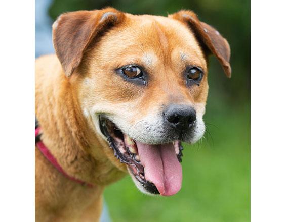 happyhowies_adoptabledog_brandi